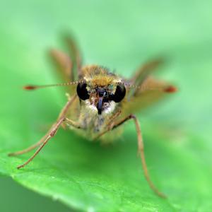 941(2020188) キイロテントウの幼虫・イチモンジセセリ・ウズラカメムシ・クロウリハムシ・サビヒョウタンナガカメムシ・クサギカメムシ?
