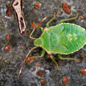 961(2020208) ヒメハラナガツチバチ?・芙蓉の花・セアカツノカメムシの幼虫