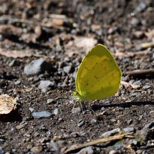 997(2020244) ムラサキシジミ・カナヘビ・キタキチョウ(北黄蝶)