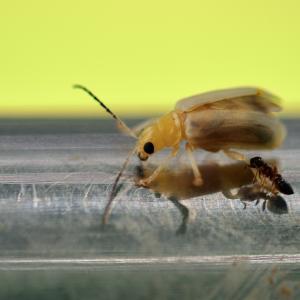 1297(2021200) 蟻がぶら下がるハムシ