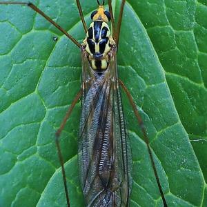1301(2021204) キイロホソガガンボ雌・ドロバチの仲間・チャドクガ幼虫