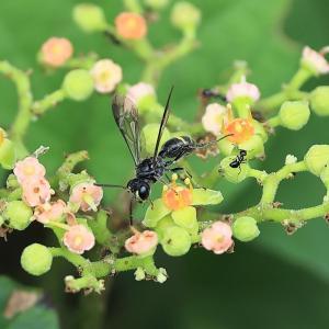1305(2021208) 黒い小さなハチ・キイロクワハムシ・セマダラコガネ・シオヤアブ雌