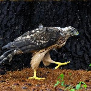 618(2019111) オオタカ 26 孵卵後推定56日目