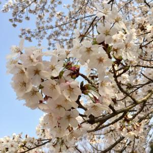 桜が満開 綺麗です♪