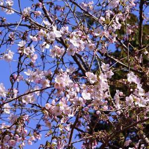 早咲きの桜いろいろ