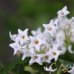 今年の白花イワタバコ