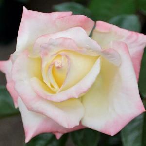 バラの花☆受賞作品