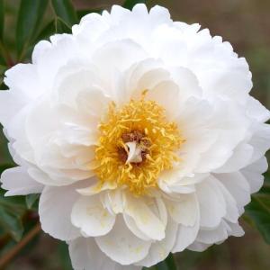 ボタンの次に咲くシャクヤク☆神代植物公園