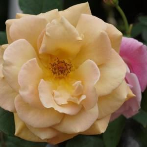 今頃ですが、バラの花☆神代植物公園