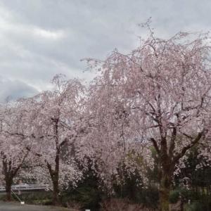 竹田の しだれ桜 04/09