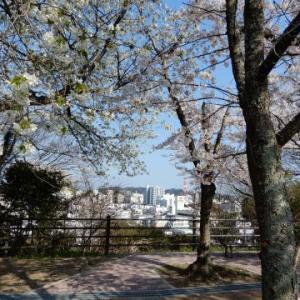 松が丘公園の桜 (いわき市平)