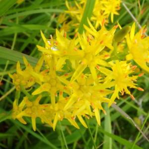 キンコウカが一面に咲く湿原で花散策