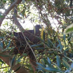 庭木に鳩の巣