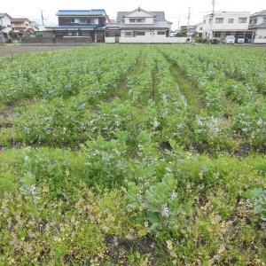 そら豆畑、草刈り