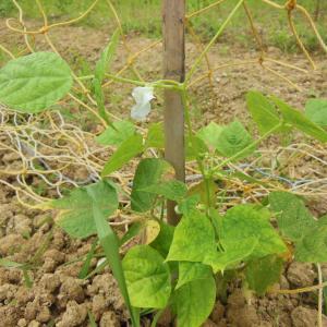 白いんげん豆に支柱