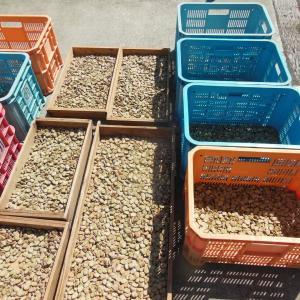 そら豆種、天日干し
