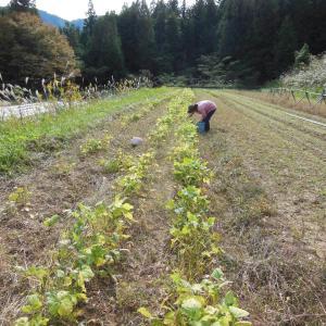 小豆採り(2日目)