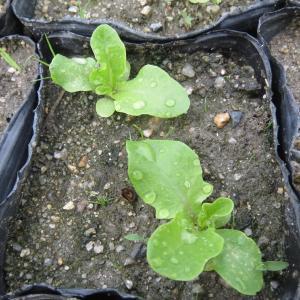 レタス、きゅうり苗定植