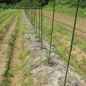 大玉トマトに草を敷く