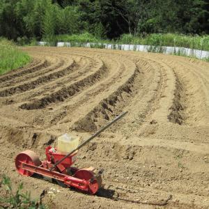 小豆、種まき始める