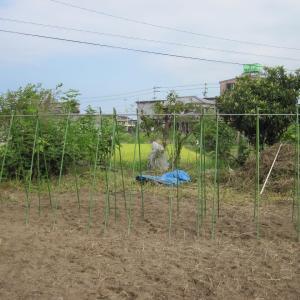 白いんげん豆、棚を作って種まき