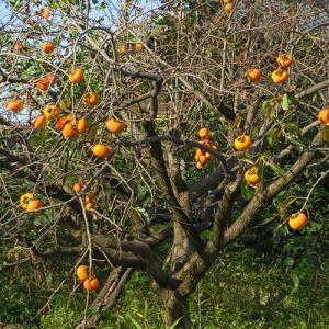 柿の実が色づく頃となり…