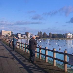 白鳥の湖・瓢湖を訪ねて… (阿賀野市・水原…瓢湖)