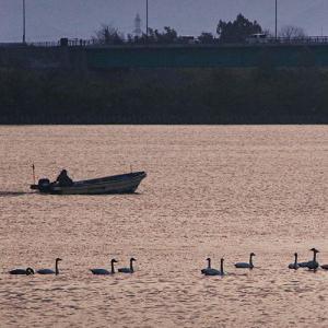 白鳥が飛来する阿賀野川で…