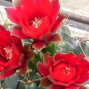 我が家のサボテン、今年も花が咲きました