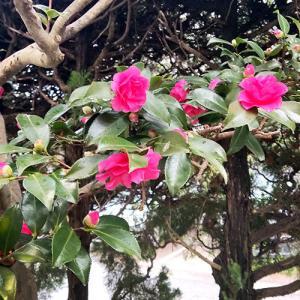 山茶花の花咲く頃となり…!