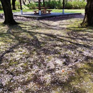 白い「雪柳」の花は 青空に映え美しい…!