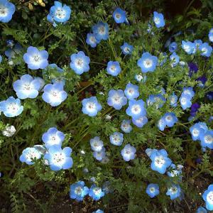 早春に咲く可憐な花「ネモヒィラ」
