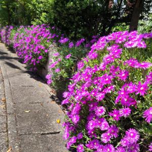 松葉菊の咲く頃となり…