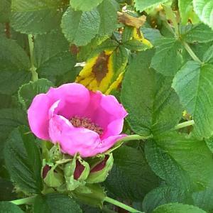 ハマナスの花咲く頃に…‼