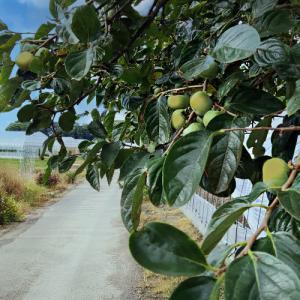 柿の実はまだ青く硬いまま…⁉
