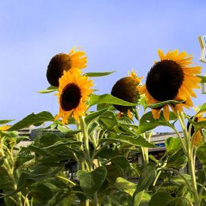 酷暑に耐えて咲く向日葵の花…