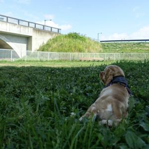 ジュリオと散歩~暑さを避けて朝と夕方出掛けてました。