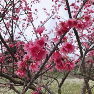 バレンタインと桜