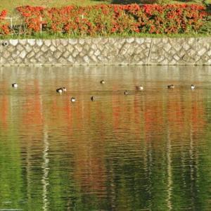 紅い水面に水鳥の姿が!・・・カモ類 カワウ アオサギ ピラカンサ