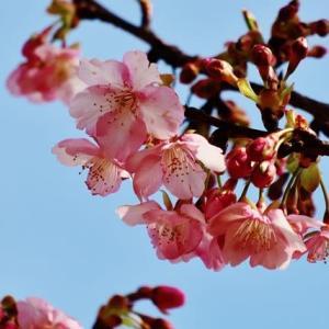 馬見丘陵公園で寒咲の桜に出会う!・・・河津桜 コブクザクラ