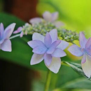 「幻の花」と呼ばれるアジサイが咲いてきました!・・・シチダンカ ガクアジサイ各種