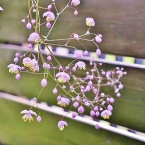山野草がひっそりと咲いています!・・・フウラン セッコク カラマツソウ