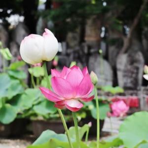 蓮のお寺を訪ねました!・・・喜光寺 蓮 石仏