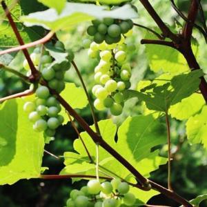 今年の果実は結構豊作!・・・イチジク ブドウ ブルーベリー