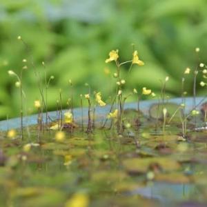 般若寺で珍しい花に出会う!・・・羊草 花手水