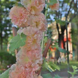 公園の花壇に八重咲の葵が!・・・ホリホック