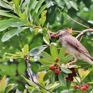 けいはんな記念公園訪問ー4!・・・水と緑の現風景 ムクドリ幼鳥