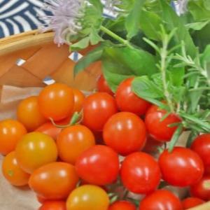 循環トマトの収穫!・・・直植えエンドレストマト