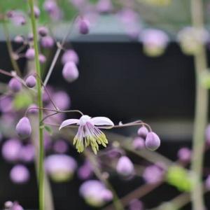 遅ればせながら 庭で咲いた青い花!・・・カラマツソウ アガスターシェ モナルダ
