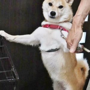 愛犬小春 近況報告!・・・暑いね